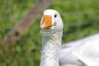 Nature Photography; Art; Urban Animal Life; Urban living; Goose; Germany; Bavaria