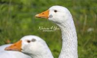 Nature Photography; Art; Urban Animal Life; Urban living; Goose; Germany; Bavaria