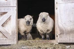 Nature Photography; Art; Urban Animal Life; Urban living; Shropshire Sheeps, Bavaria