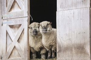 Nature Photography; Art; Urban Animal Life; Urban living; Shropshire Sheeps, Bavaria