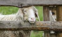 Nature Photography; Art; Urban Animal Life; Urban living; Pygora goat; Bavaria