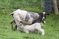 Nature Photography; Art; Urban Animal Life; Urban living; Highland Sheep & lamb; Switzerland