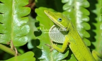 Green anole lizard in the swamps of the Everglades