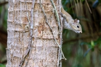 Eastern gray squirrel climbing tree in the swamps of the Everglades