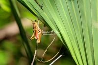 Lubber Grasshopper climbing up leaves in the swamps of the Everglades