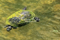 Florida red-bellied cooter turtle in the swamps of the Everglades