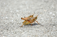 Lubber grasshoppers mating in the Everglades