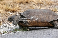 Gopher tortoise crawling on a road in the Everglades