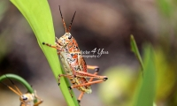 Lubber grasshopper crawling up a leaf in the Everglades