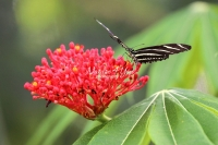 Zebra longwing butterfly on a flower in the Everglades
