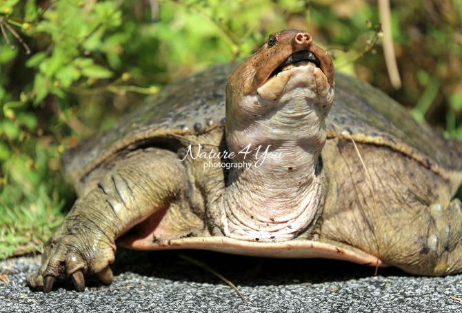 Florida Softshell turtle resting on road side in the Everglades