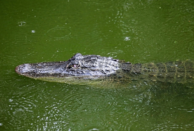 American alligator in the swamps of the Everglades
