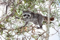 Raccoon climbing a tree in the swamps of the Everglades