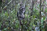 Raccoon climbing trees in the swamps of the Everglades