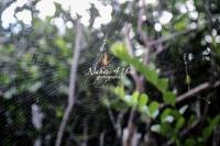 Golden Silk Orb-weavers Banana spider in the Everglades