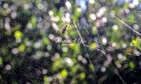 Golden silk orb-weaver in the Everglades