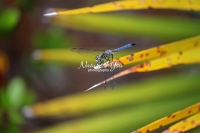 Blue dasher dragonfly in the swamps of the Everglades