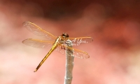 Yellow-sided skimmer in tropical wetland of the Everglades