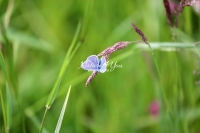 Common blue butterfly on a grass bud in Bavaria