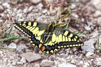 Common yellow swallowtail butterfly in Bavaria