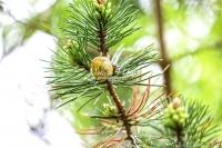 Grove snail on a pine bud in Bavaria