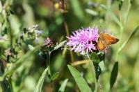 European skipper butterfly among flowers in Bavaria