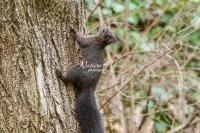 European squirrel climbing up a tree in Bavaria