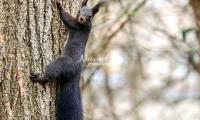 European squirrel crawling up a tree in Bavaria