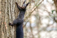 European squirrel crawling up a tree in Bavaria