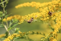 Honey bees collecting pollen in Bavaria