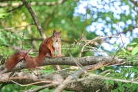Eurasian red squirrel resting on a tree