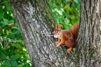 Eurasian red squirrel sitting in a tree fork