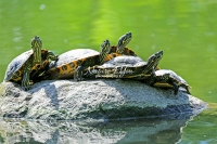 Red-eared slider turtles resting on a rock protuding out of water in Bavaria