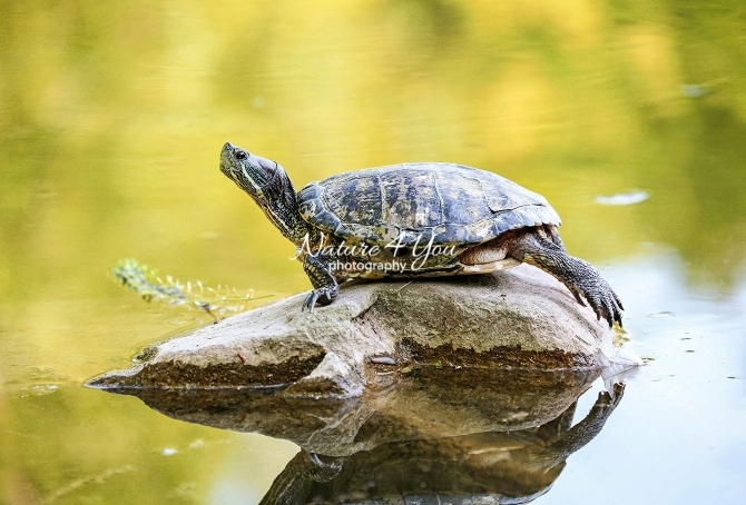 Red-eared slider turtle in Bavaria