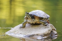 Red-Eared Slider turtle sunbathing on a rock surrounded by water