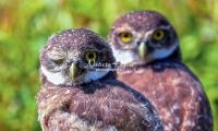 Burrowing Owls Everglades Florida