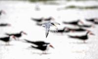 Royal Tern Everglades Florida