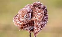 Burrowing Owl Everglades Florida