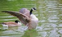 Canada Goose Bavaria