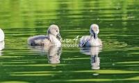 Baby Mute Swan Family Bonds
