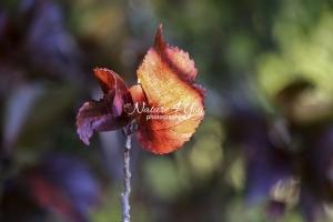 Red Marple Leaf - Florida