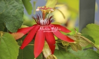 Passion Flower - Florida