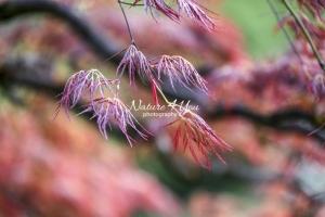 Hana Matoi - Japanese Mapel Tree - Bavaria