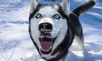Siberian Huskies, Husky, Dogs, Snow dogs, snow, playing, running