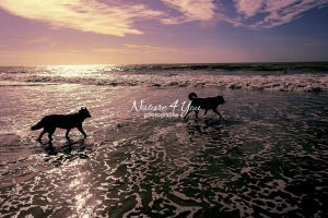 Siberian Huskies, Husky, Dogs, playing, running, Beach, Ocean