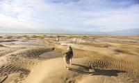 Siberian Huskies, Husky, Dogs, Snow dogs, snow, playing, running beach, ocean
