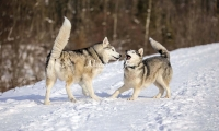 Siberian Huskies, Husky, Dogs, Snow dogs,playing, running