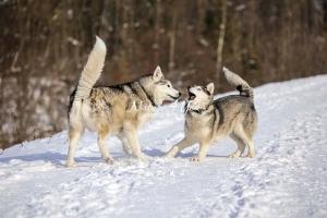 Siberian Huskies, Husky, Dogs, Snow dogs,playing, running