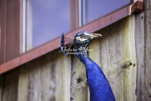 Nature Photography; Art; Urban Animal Life; Urban living; Bavaria; Germany; cat; Animal Farm Bavarian Style
