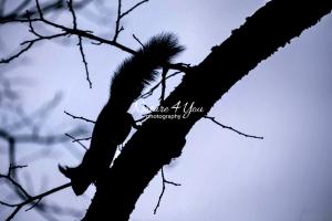 Eurasian Red squirrel crawling down a tree at dawn